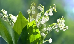 Sweet Lily Of The Valley Flower Bulbs (4-, 8-, 20-Pack With Bulb Planter)