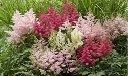 Giant Plume Assorted Astilbe Flower Bulbs (3-, 6-, 12-Pack with Planting Tool)