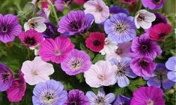 Geranium Fantasy Mixed Flower Bulbs (10Pk, 20Pk or 40Pk w/Planting Tool)